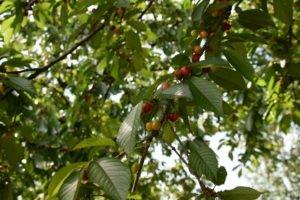 cseresznye telep (3)