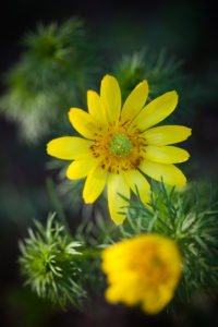 Tavaszi hŽrics (Adonis vernalis)